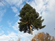 Средняя цена елки в Украине будет составлять 60 грн за погонный метр
