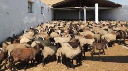 Турки купили 10 тыс. украинских овец