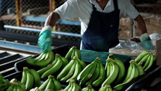 Миру грозит банановая катастрофа из-за грибка