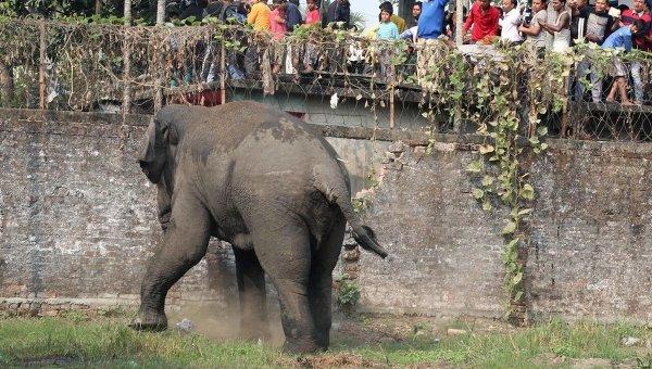 Индийский слон, спасаясь от погони, затоптал молодого любителя селфи