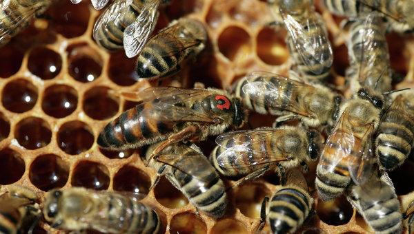 В результате атаки пчел в Мексике пострадали десятки человек