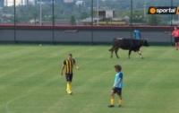 Бык и собака прервали футбольный матч (видео)