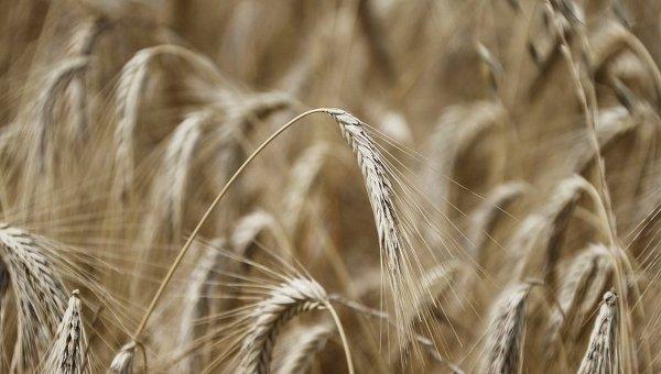 В Украине пятый год подряд собрали более 60 млн тонн зерна