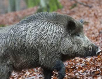 В Польше африканская чума свиней добралась до Варшавы