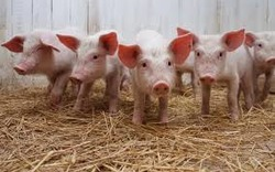 На підтримку тваринництва у 2018 році планується спрямувати 3 млрд грн - Гройсман