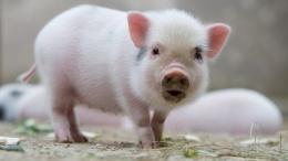 Крупный производитель свинины построил свинокомплекс