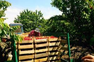 Украинская черешня впервые вышла на мировые рынки