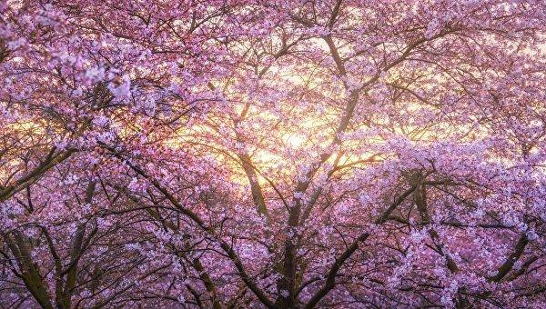 Японская сакура расцвела в Амстердаме буйным цветом