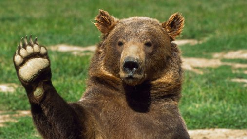 В США спасли медведя, застрявшего в автомобиле: впечатляющее видео