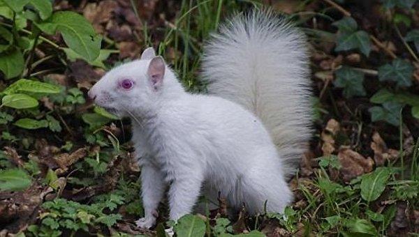 В Британии засняли уникальную белку-альбиноса