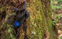 Паук-птицеед: открыт новый вид синих тарантулов