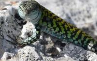 Обнаружены рептилии с зеленой токсичной кровью, которая обладает защитными свойсвами