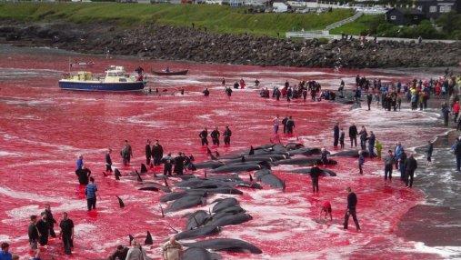От крови убитых дельфинов на Фарерах покраснело море: фото 18+