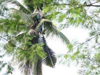 Филиппинца силой сняли с пальмы, на которой он просидел три года (видео)