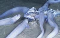 На дне Тихого океана обнаружили три новых вида рыб (видео)