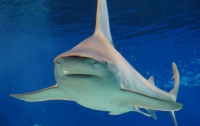 Летающая акула-бык едва не сбила с ног австралийского спортсмена