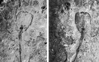Ученые нашли одно из первых многоклеточных существ Земли