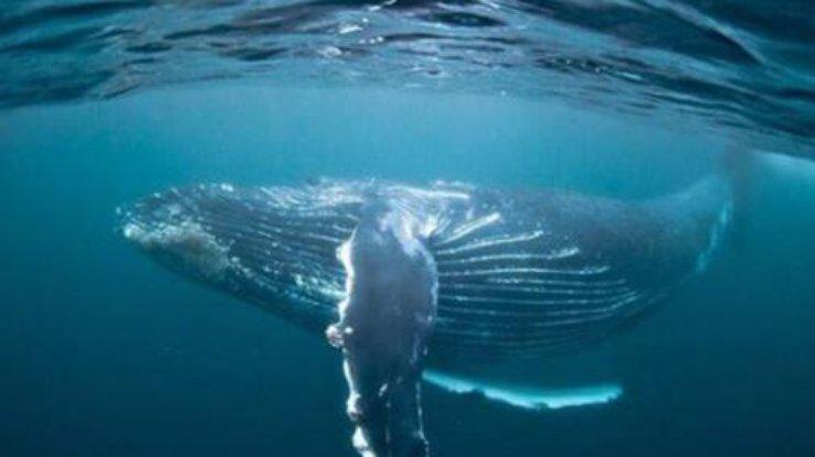 Надвигается глобальное потепление: ученые назвали причины вымирания китов