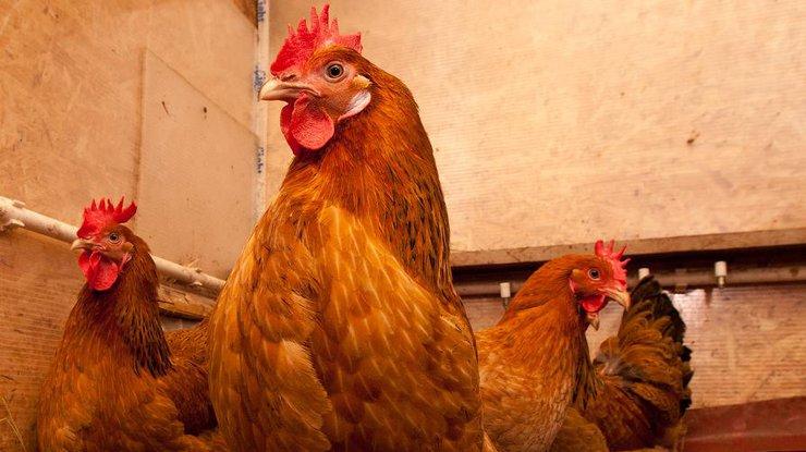 Ученые скрестили человека и курицу