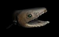 В Португалии поймали древнюю акулу-монстра