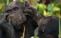 Гнезда шимпанзе оказались чище человеческих постелей