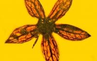 Палеонтологи нашли семь цветов в янтаре возрастом 100 млн лет