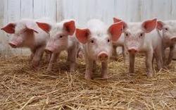 Україна заборонила ввезення свинини з Польщі