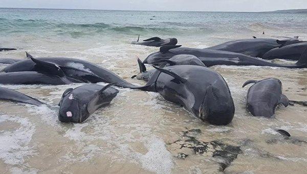 В Австралии 150 черных дельфинов выбросились на берег